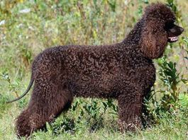 Titta the Irish water spaniel