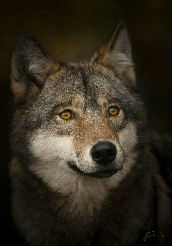 HANDSOME WOLF!