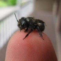 The orchard mason bee is easy to care for, non aggressive, and highly educational! Unlike honeybees, the mason bee isn't affected by colony collapse. Orchard mason bees are native to much of North America. We are selling a limited amount of bees native to states west of the Rockies. One order contains 10 A+ grade Dormant Blue Orchard Bees in release straws.