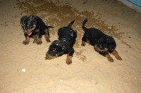 Champion Rottweilers Puppies for Sale