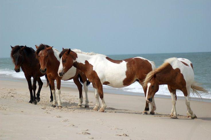 Divocí koně na americkém ostrově Assateague.