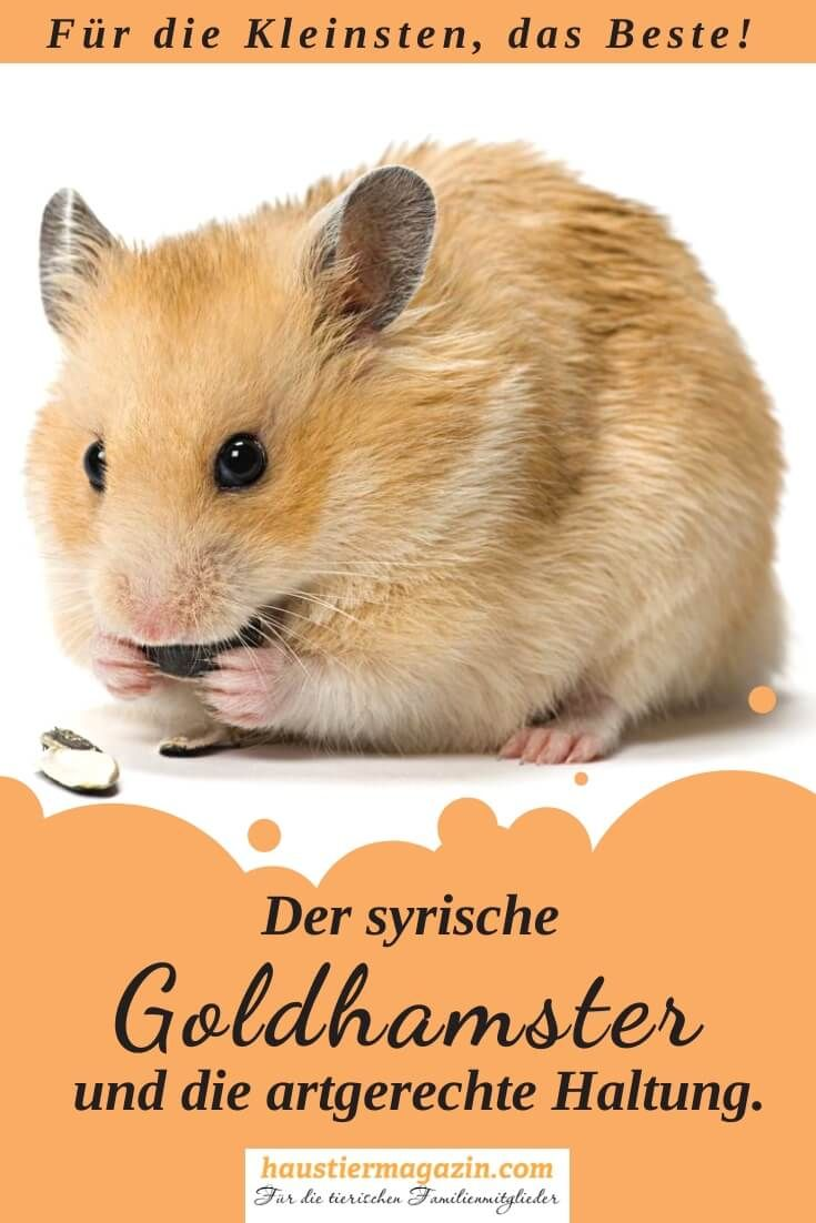 Syrischer Goldhamster Goldhamster Hamster Tiere