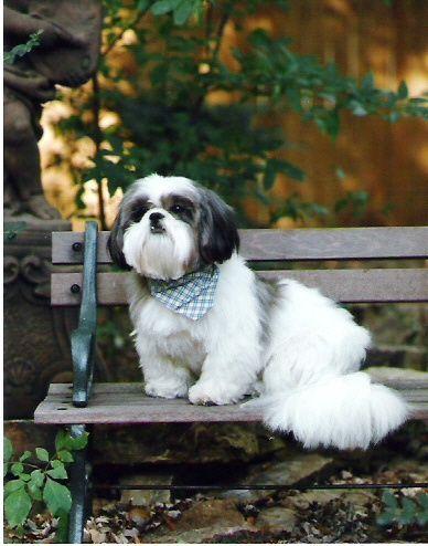 Shih Tzu Looks Just Like My Banjo Shih Tzu Puppy Shih Tzu Dog