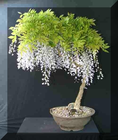 White wisteria bonsai