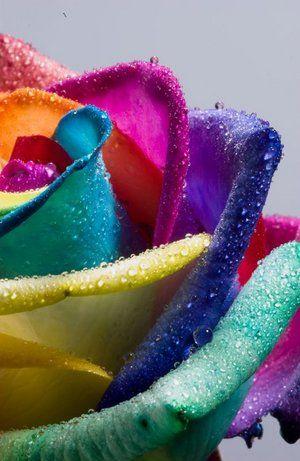 Rainbow roseRose Flower, Rainbows Colors, Colors Rose, Rainbows Rose, Beautiful, Rainbow Roses, Rainbows Flower, Rose Petals, Colours Rose