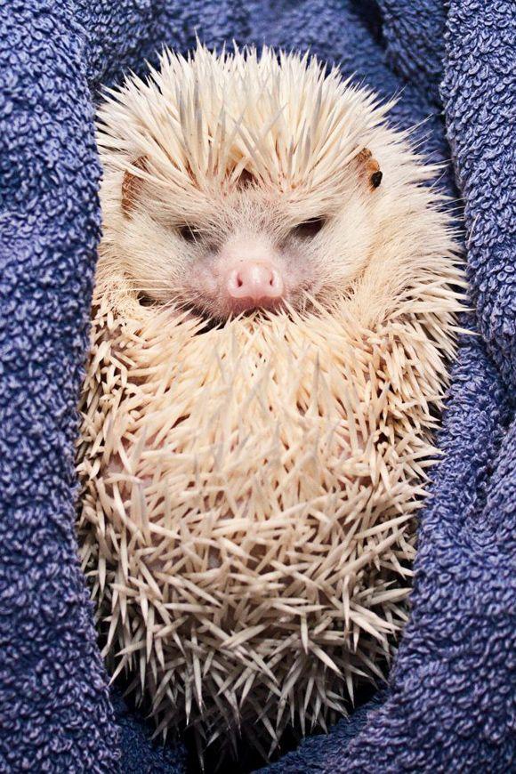 Albino Pygmy Hedgehog