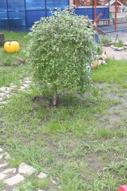 Плакучие формы деревьев. Обрезка, формирование кроны - Садоводка