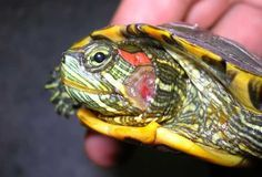 Emergency At-Home Treatments for Red Eared Sliders