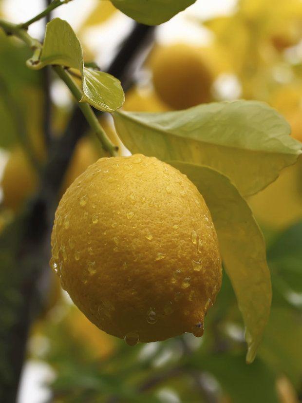 Poptávka po citrusovém ovoci rychle stoupala po roce 1890, kdy se ukázalo, že lidé trpící kurdějemi nebo nedostatkem vitamínu se mohou vyléčit pitím šťávy z citronu nebo ostatních citrusových plodů.