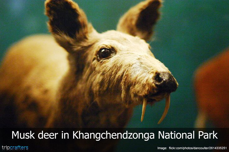 Khangchendzonga National Park (previously named Kanchenjunga National Park) is one of the largest and one of the most beautiful national parks in India. Animals like musk deer, snow leopard and Himalayan Tahr all make their home in this park. #Sikkim | #India | #Wildlife