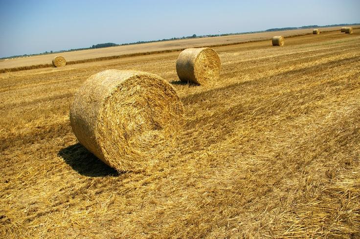 Ciò che resta di un campo di grano dopo la mietitura a San Giovanni in Persiceto