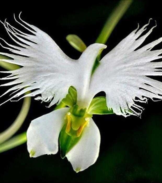 Photo : Oiseau en plein vol ? Toujours pas, c'est une orchidée Habenaria Radiata