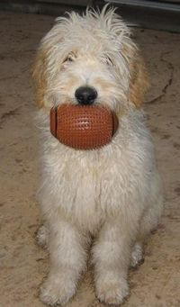 F1 Standard Goldendoodle Puppies For Sale, Poodle crossed with Golden Retriever, Texas, Dog Training, Dog Potty Training, Dog Toys, Dog Beds, Puppy training