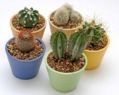 cactus picture, cactus house plants