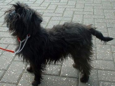 Affenpinscher | Pictures, Information, and Reviews