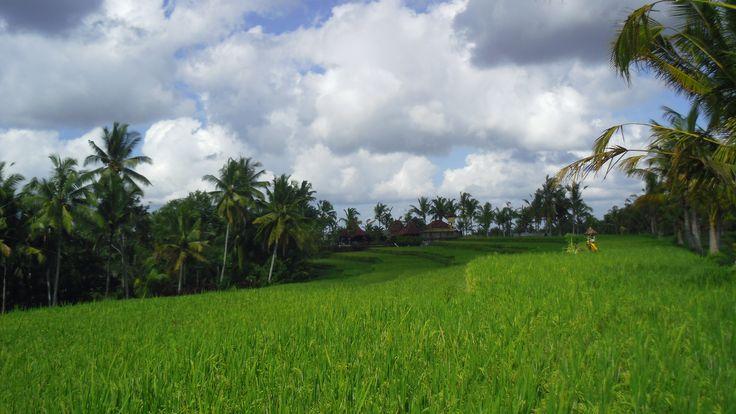 Bali Ubud, Ricefields, Indonisia