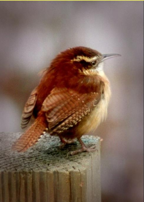 The morning song of the Carolina Wren. Walk in peace with all living things.