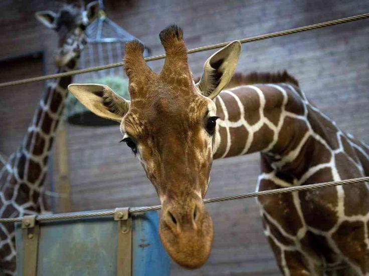 copenhagen zoo | Copenhagen Zoo's giraffe Marius was put down Sunday by zoo authorities ...