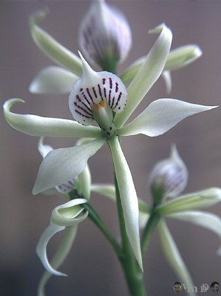 Encyclia fragans, another masterpiece brought to you by mother nature...