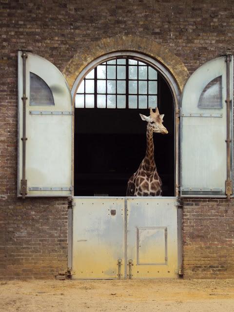 Peeking giraffe.
