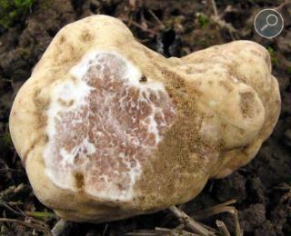 Η πολύτιμη λευκή τρούφα (Tuber magnatum)
