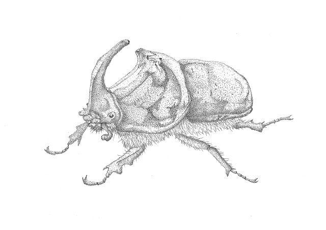 IL·LUSTRACIÈNCIA: Escarabajo rinoceronte - Jose Luis Manzanaro Ase...