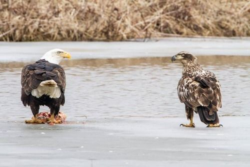 2 Bald Eagles staring each other down at Upper Mississippi Wildlife & Fish Refuge. Located in four states along the Mississippi River — Minnesota, Wisconsin, Iowa and Illinois — the refuge encompasses one of the largest blocks of floodplain habitat in the lower 48 states. Bordered by steep wooded bluffs that rise 100 to 600 feet above the river valley, the  Photo of a mature and juvenile Bald Eagle by Stan Bousson, usfws​.