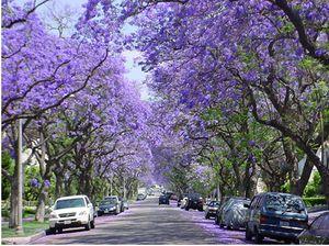 Blooming Jacaranda Trees