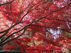 Beautiful autumn foliage with Acer varieties
