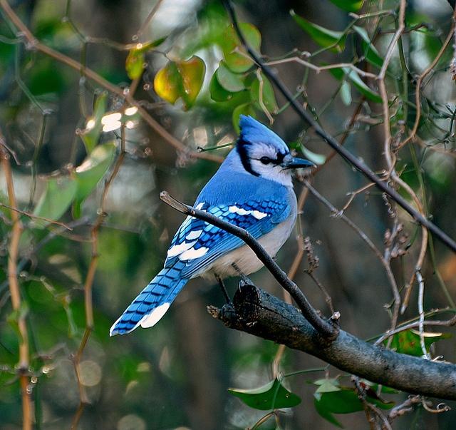 17 Best images about blue jays on Pinterest | Birds, Bird ...