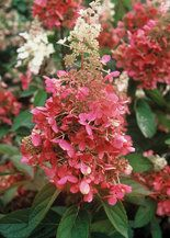 How to prune your Pinky Winky Hydrangea.