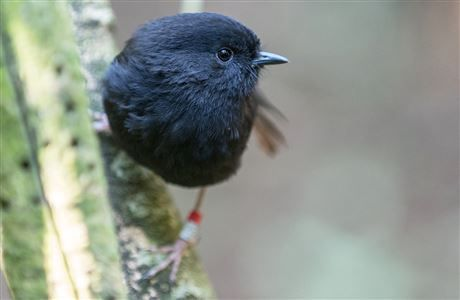 Chatham Island black robin. Photo: Leon Berard (CC BY-NC 2.0).