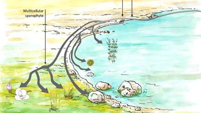 Descubrimiento: La teoría de cómo han evolucionado las plantas podría cambiar para siempre   La teoría de cómo han evolucionado las plantas podría cambiar para siempre: a partir de ahora las algas verdes ya no son consideradas los únicos antepasados de las plantas terrestres.  Según teorías modernas las primeras algas multicelulares aparecieron en el agua tras provenir de las antiguas algas monocelulares hace alrededor de mil millones de años. Se considera que las primeras plantas…