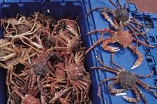 Crabe des neiges des Îles de la Madeleine