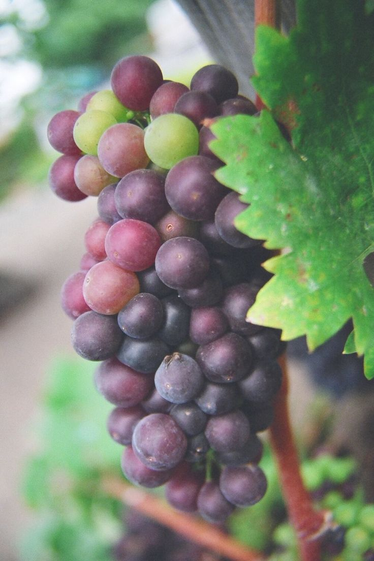 How to Grow Grapes - Backyard Grape Growing Secrets ...