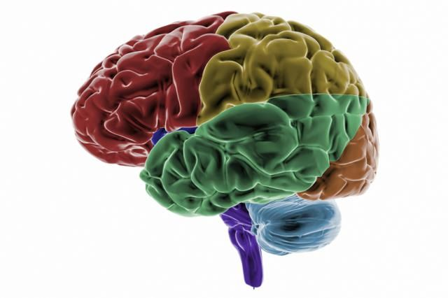The occipital lobes are positioned at the back area of the brain. These cerebral cortex lobes are the main centers for visual processing.