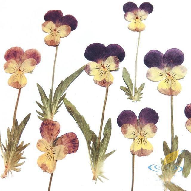 10 Adet Kurutulmuş Preslenmiş Çiçek Sanatı Kartları Şube Örnekler Ile Çift Renk Bizzat El Yapımı Çevre Malzeme