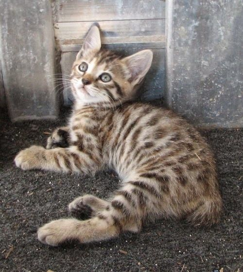 "* * BENGAL KITTEN: "" Wouldn'ts me be called a Bengal Bobtail?"" HUMAN: ""Sure, if you weren't laying on your tail."""