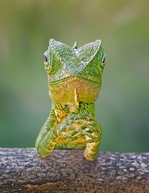 dragon lizard photographed by Aditya Permana, a professional photographer in Yogyakarta, Indonesia.