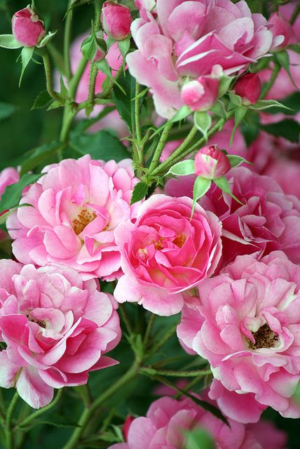 Green And Pink Roses 17 Best images ...