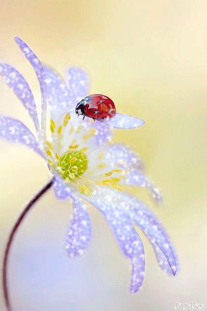 Fleur mauve avec coccinelle gif