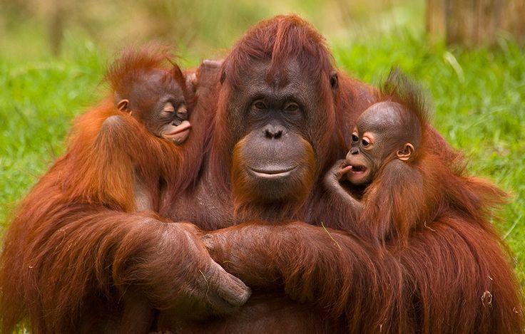 Noch schwingt sich die Orang-Utan Mama mit ihrem Kleinen fröhlich von Ast zu Ast. Aber wie lange wird das noch gehen