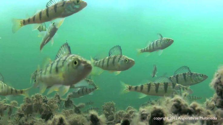 2012 Jumbo Perch Ice Fishing - Lake Simcoe