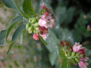 Symphoricarpos albus or Snowberry