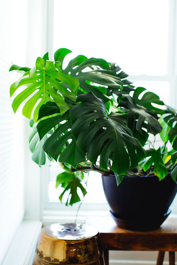 Monstera Deliciosa   How to Care For Popular House Plants