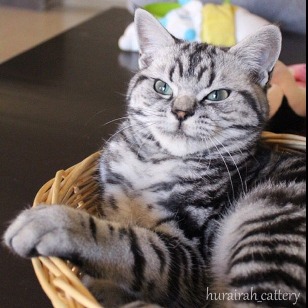 Our sweet baby boy Barney British shorthair classic tabby with green eyes @hurairah_cattery