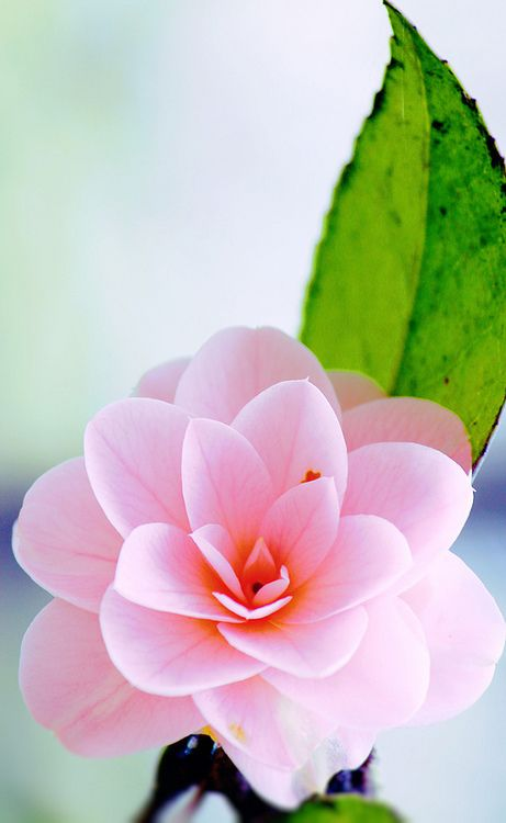 Pink Camillia Flower