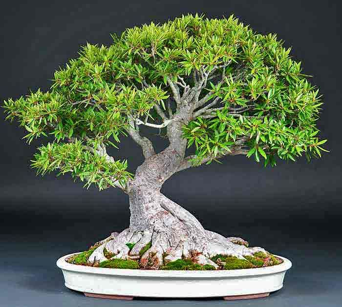 Ficus Nerifolia by bonsailearningcenter: Excellent bonsai material, here is a guide to care and cultivation. #Ficus_Nerifolia, #Willow_Leaf_Fig #Bonsai_Guide