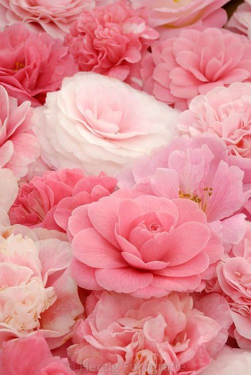 Shades of Pink Flowers