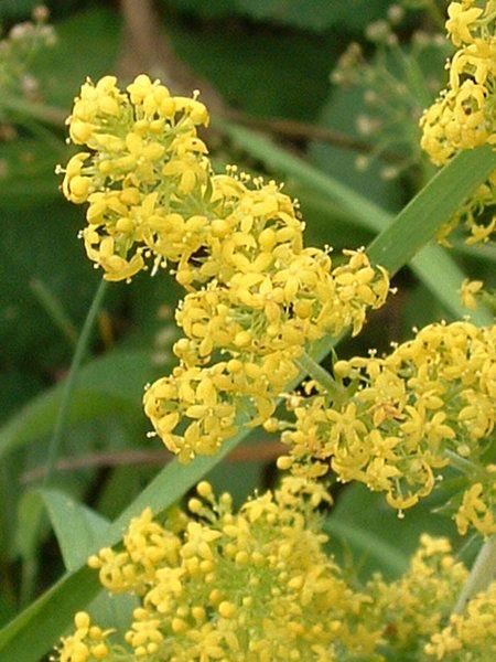 Sânziene (Lady's Bedstraw flowers)